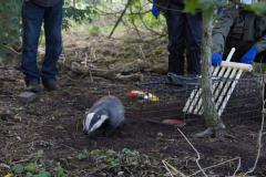 Cheshire East Council backs badger vaccination programme