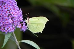 Reader's Photo: Brimstone butterfly in Handforth garden