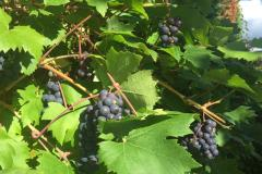 Reader's Photo: Grape Harvest